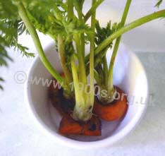 Detail of a carrot-top houseplant showing the carrot top bases in a dish of water.