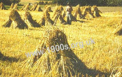 stooks of corn showing the bunches of corn propping each other up