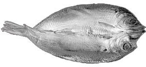 The shape of a kipper showing that it is wider than an ordinary fish